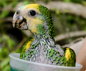 Hand rearing parrots2